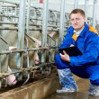 Veterinarian doctor examining pigs at a pig farm — Stock Photo