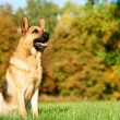 One German Shepherd Dog — Stock Photo #22060131