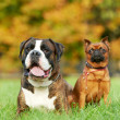 German tiger boxer dog and petit brabancon griffon - Stock Photo