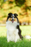 One Shetland Sheepdog Dog — Stock fotografie