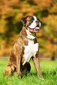 One german tiger boxer dog — Stock Photo