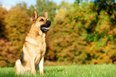 One German Shepherd Dog — Stock Photo