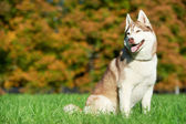 Syberian husky dog at autumn — Stock Photo