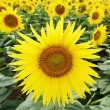 Sunflowers at field — Stock Photo