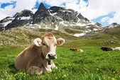 Brązowe krowy na pastwisko trawa zielony — Zdjęcie stockowe