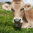 Stock Photo: Brown cow on green grass pasture