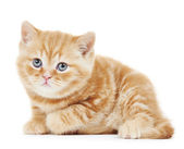 British Shorthair kitten cat isolated — Stock Photo