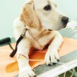 Ladrador dog under vaccination in clinic — Stock Photo #44958415
