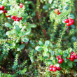 Reb cowberries growing on green brunches - Stock Photo