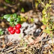 Stock Photo: Red cowberries from green brunches