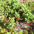 Stock Photo: Northern red cowberries on green brunches in autumn