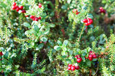 Reb cowberries growing on green brunches — Stock Photo