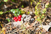 Red cowberries from green brunches — Stock Photo