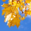 Yellow maple foliage on brunch on blue sky — Stock Photo