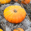 Rich autumn harvest of orange ripe pumpking — Stock Photo #14903127