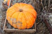 Orange big pumpking laying in wooden box — Stock Photo