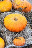 Rich autumn harvest of orange ripe pumpking — Stock Photo