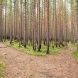 Stock Photo: Growing forest after fire