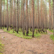 Growing forest after fire — Stock Photo #15857657
