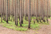 New growing pines in forest after fire — Stock Photo