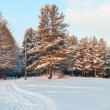 Stock Photo: Snowcovered pines in evergreen forest with sunset colors on trees