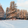 Snowcovered pines in evergreen forest with sunset colors on trees — Stock Photo #18881775