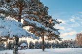 Pinos de invierno en bosque siempreverde con puesta de sol en el cielo — Foto de Stock