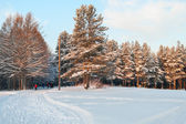 Snowcovered pines in evergreen forest with sunset colors on trees — Stock Photo