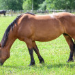 Stock Photo: Chestnut horse grazing in meadow