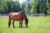 Chestnut horse with black mane grazing in field in summer — Stock Photo