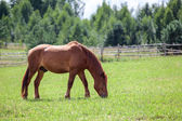 Chestnut horse grazing in the meadow — Stock Photo