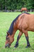 板栗匹马在草地上放牧 — 图库照片
