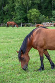 Brown horse on green field — ストック写真
