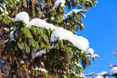 Snow-covered tree branch on blue sky — Stock Photo