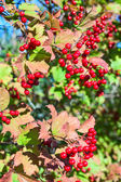 Ripe red viburnum — Stock Photo
