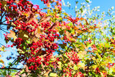 Ripe red berries of viburnum — Stock Photo