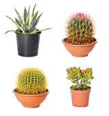 Different cactuses and agave in flowerpots — Stock Photo