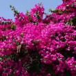 Bougainvillea — Stock Video
