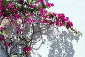 Bougainvillea against a white wall. — Stock Photo
