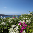 Wall of bourgainillea, Santorini - Stock Photo