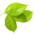 Cherry leafs — Stockfoto