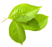 Cherry leafs — Stock Photo