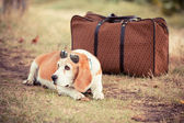 Dog with Sunglasses and Old Fashioned Suitcase — Stock Photo