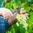 Adult Man Harvesting Grapes in the Vineyard — Stock Photo #12643568