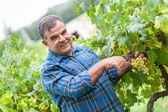 взрослый мужчина, сбора урожая винограда в винограднике — Стоковое фото