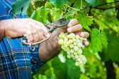 Adult Man Harvesting Grapes in the Vineyard — Stock Photo