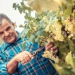 Stock Photo: Adult Man Harvesting Grapes in the Vineyard