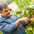 Adult Man Harvesting Grapes in the Vineyard — Stock Photo #13983859