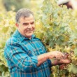 Adult Man Harvesting Grapes in the Vineyard — Stock Photo #13984254