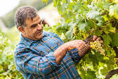 Hombre adulto cosecha de uvas en el viñedo — Foto de Stock